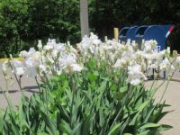 White Irises at the Post Office