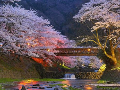 Cherry trees near Kyoto, Japan