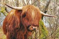 Scottish Heilan Coo!!