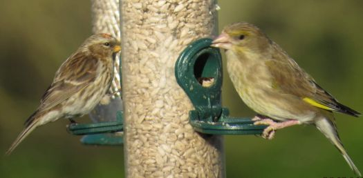 Greenfinch and Redpoll sharing a feeder for breakfast.