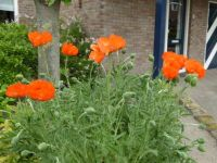 Big poppies in a small garden