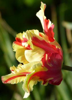 Tulpen-Blüte