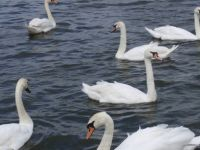 Swans at Thorpness, Suffolk