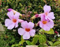 Vine in Bloom