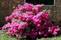Azalea in bloom