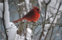 Cardinal on a snowy day