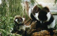Black and white ruffed lemurs