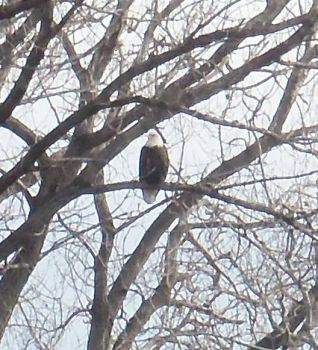 eagle in Wichita
