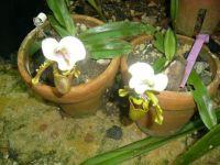 Slipper Orchids