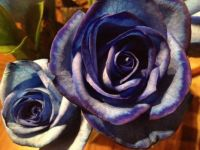 Blue Birthday Rose