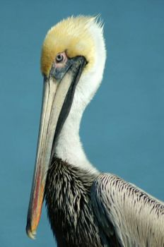Brown Pelican at Goose Island State Park, Texas