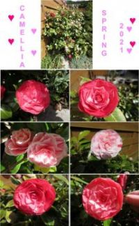 Collage of some of my Camellia flowers