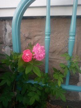 My garden... Climbing rose