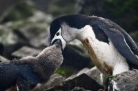 Antarctica - Chinstrap penguin mama feeding baby