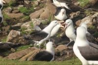 Black-browed Albatross, nesting