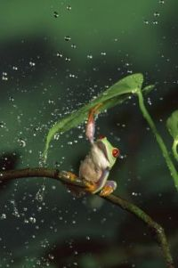 Little frog & its umbrella