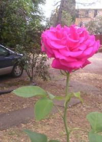 A rose for Dad