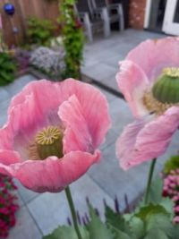 poppy roze