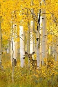 Standing out against the aspens....