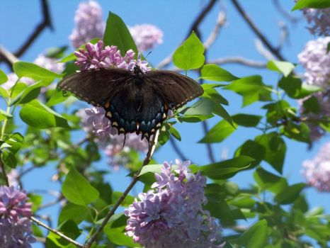 Butterfly on Lilac 2