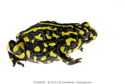 Southern corroberee frog