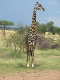 Giraffe by the side of the road