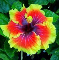 Tahitian Lion Queen Hibiscus