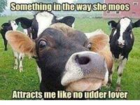Cow Comedy