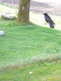 Must have been this crow