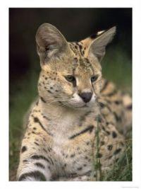 Theme: Safari/Wild Animals - Serval