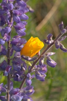 Lupines & California Poppy