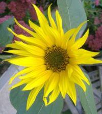 Garden - Sunflower 2 (Close Up)