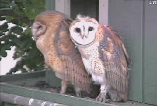 My, how the owlets have grown!