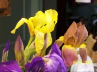 my irises
