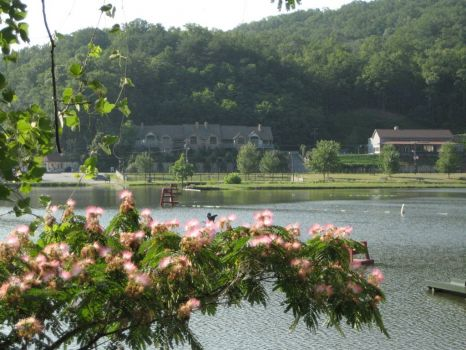 Mimosa Tree in Bloom - Lake Lure