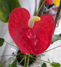Red Heart Plant