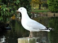NZ seagull for lovesgulls