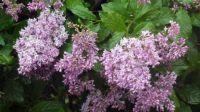 Group Lilacs
