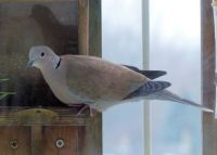 collared dove on my balcony