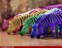 Fruitstripe-Gum-Zebras-