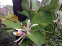 bees and a lemon tree