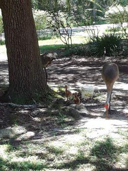 In my front yard a few minutes ago.  Mom & Dad Sandhill Crane & 2 babies.