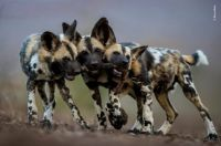 African wild dog pups by Bence Mate, Hungary