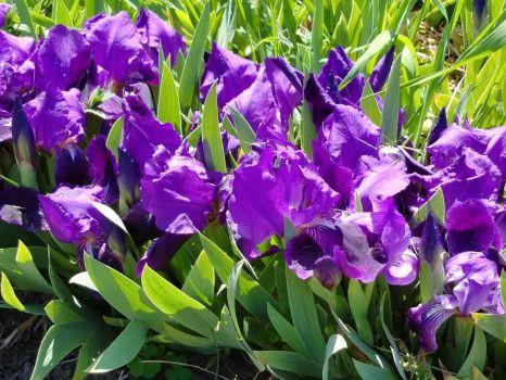 Mini Irisis