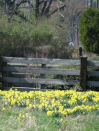 Fenced in Daffodils