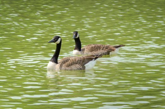 2 Canada Geese-7249
