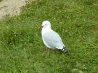 red beaked gull