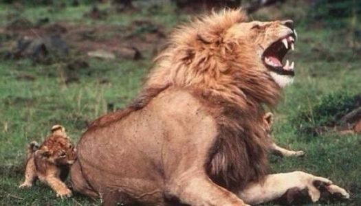 Lions pretend to be hurt by the bites of their young to encourage them