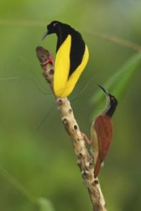 A female twelve-wired bird-of-paradise (Seleucidis melanoleucus) inspects a male during courtship