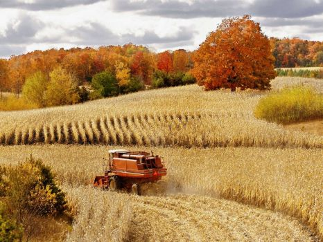 Autumn corn harvest Cadillac MI